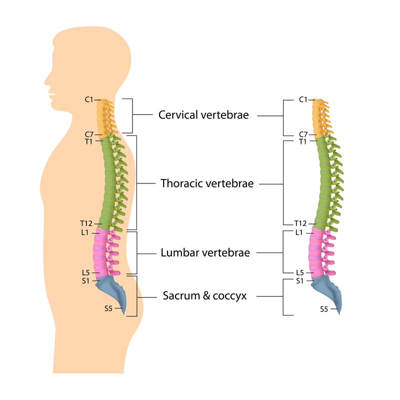 Information about spine and intervetebral disc anatomy - Dr David ...